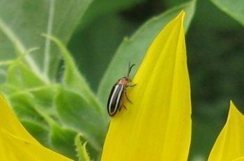 Garden Bugs Firefly