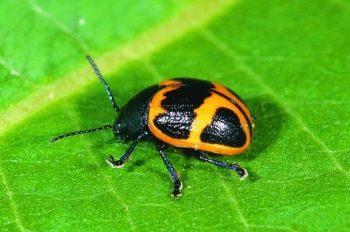 Milkweed Leaf Beetle