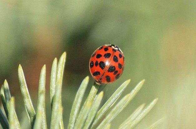 Garden Bugs Ladybird Beetle