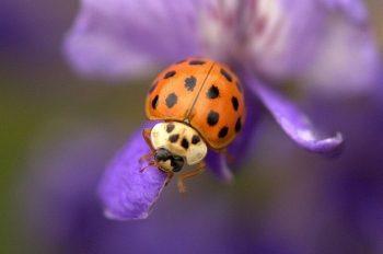 Garden Bugs Ladybug