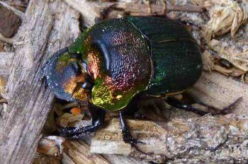 Garden Bugs Scarab Beetle
