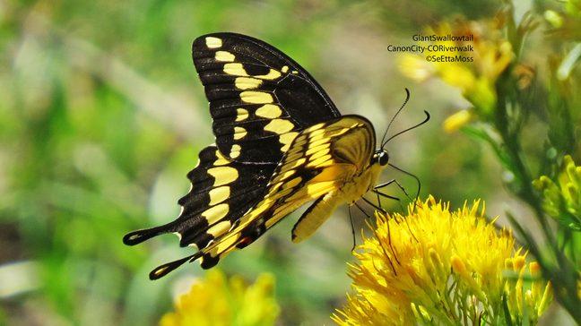 GiantSwallowtail-a2-CC,CO