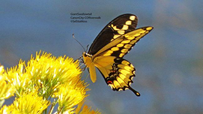 GiantSwallowtail-a3-CC,CO