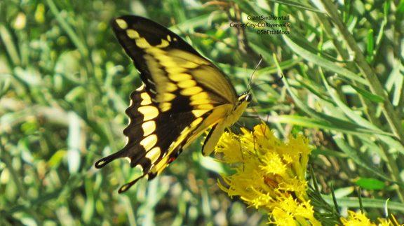 GiantSwallowtail-a4-CC,CO