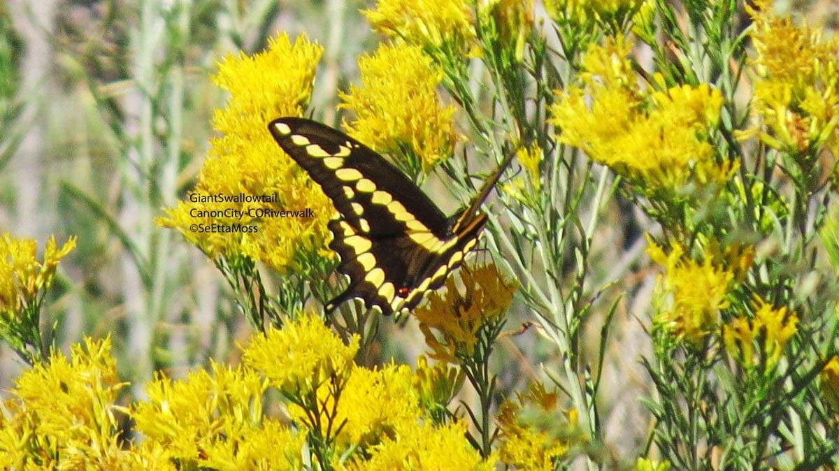 GiantSwallowtail-a5-CC,CO