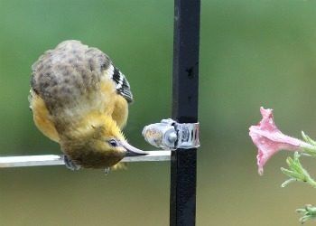 Goldfinch studying reflection