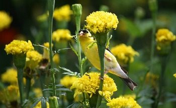 Goldfinch on marigolds