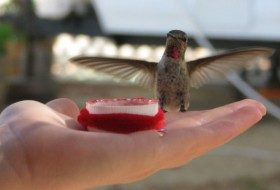 Feeding Hummingbirds by Hand