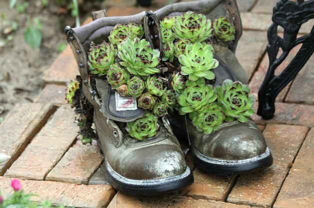 Hens and Chicks in Old Boots