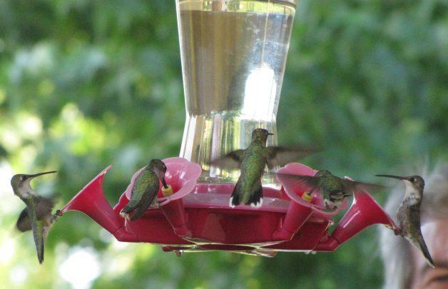 Hummingbird Frenzy by Janet King