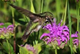 Hummingbird Myths Revealed