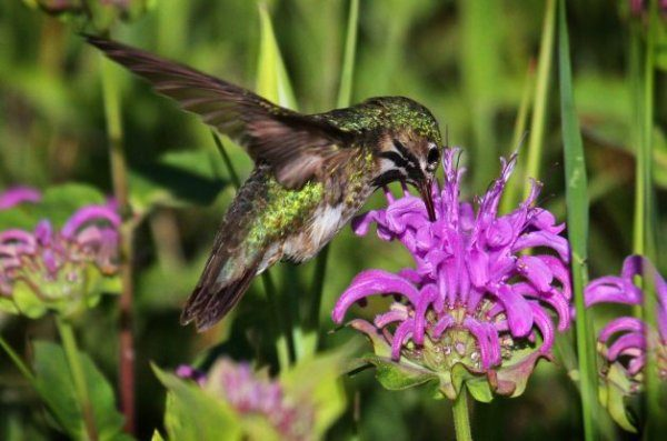 Hummingbird Myths
