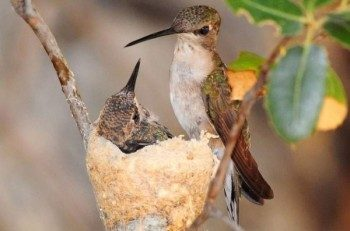 Hummingbird Nest Facts