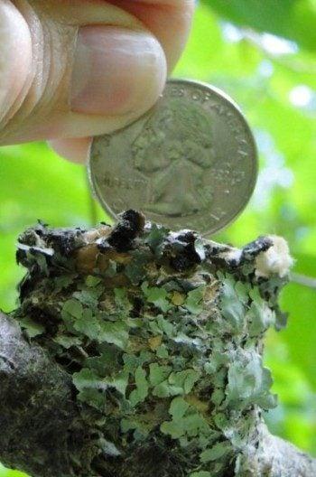 Hummingbird Nest Facts