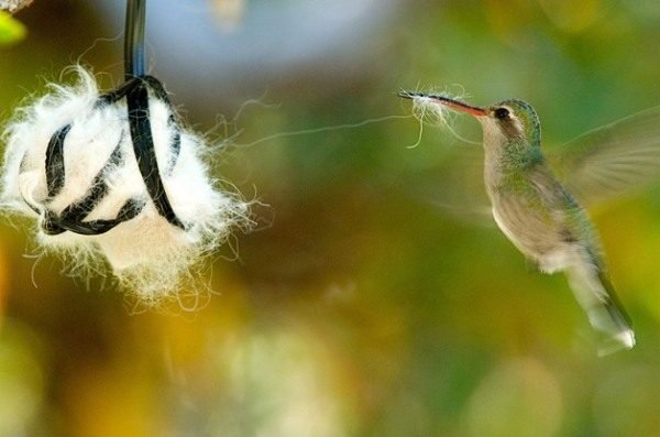 Hummingbird collects nesting material