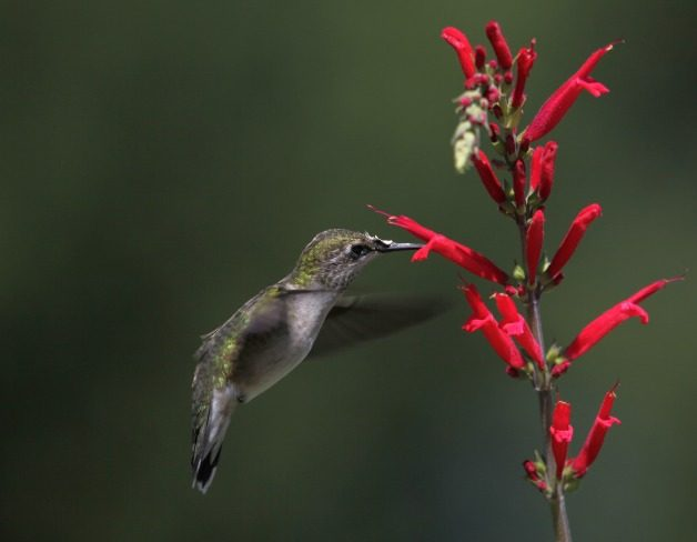 Hummingbird on Salvia elegans by Connie Etter