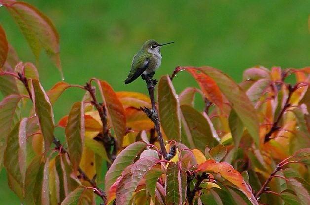 Hummingbird in Fall by Jack57