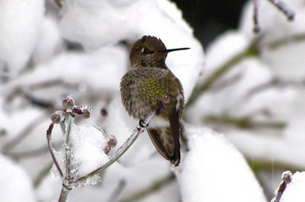 hummingbirds in winter