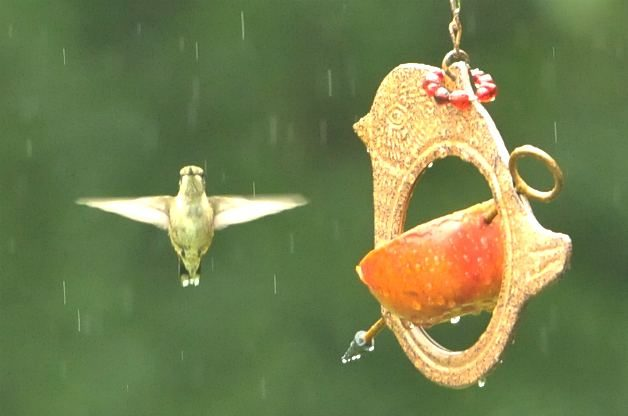 Hummingbird at apple feeder