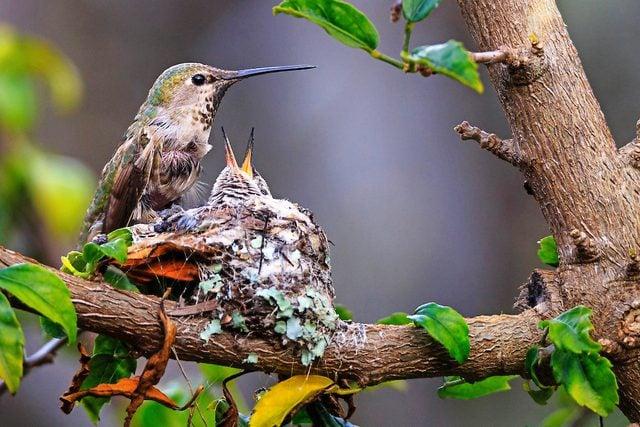 An Anna's hummingbird mom feeds chicks in a nest.