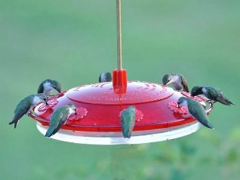 Hummingbirds at sugar water feeder