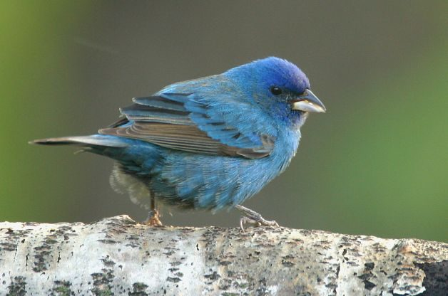 Indigo Bunting | Attracting Birds - Birds and Blooms