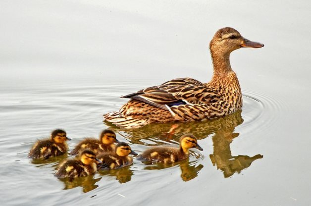 Mallard, female with ducklings