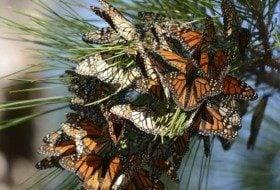 Monarch Migration Magic