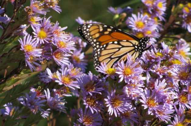 Monarch on Asters Mary Zugelder