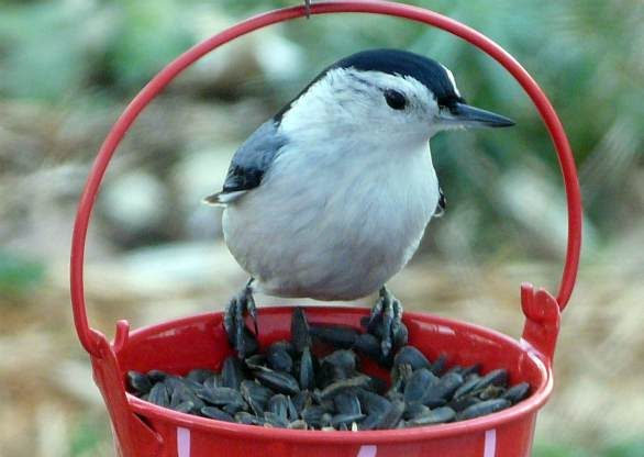 Nuthatch with Sunflower Seeds