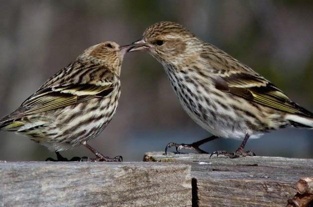 Pine Siskin Attracting Birds Birds And Blooms