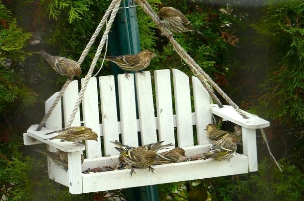 Pine siskins at feeder