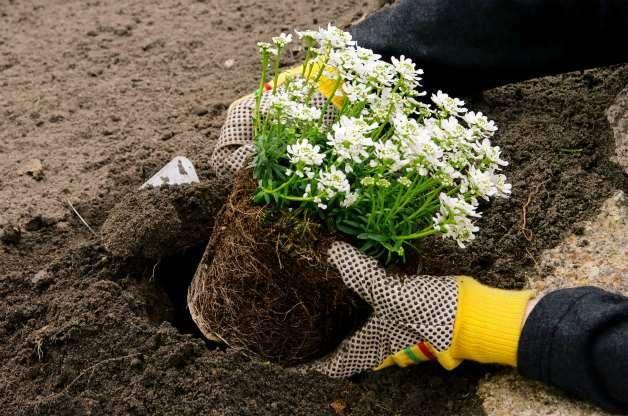 Planting shrubs