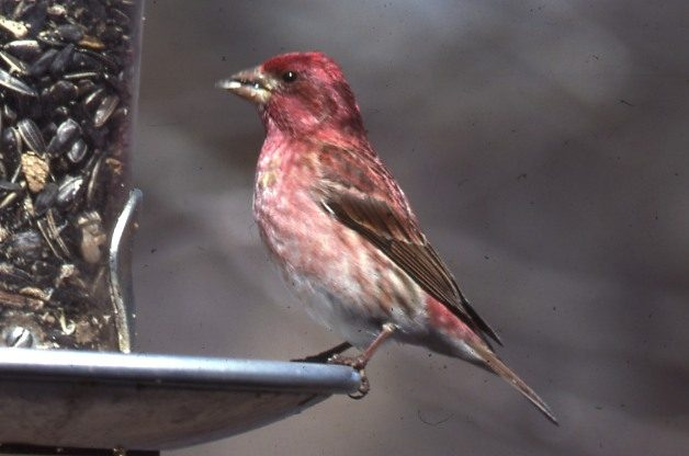 Purple Finch | Attracting Birds - Birds and Blooms
