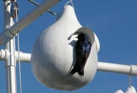 Make a Purple Martin Gourd Birdhouse