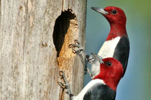 Red-headed woodpeckers at nest cavity