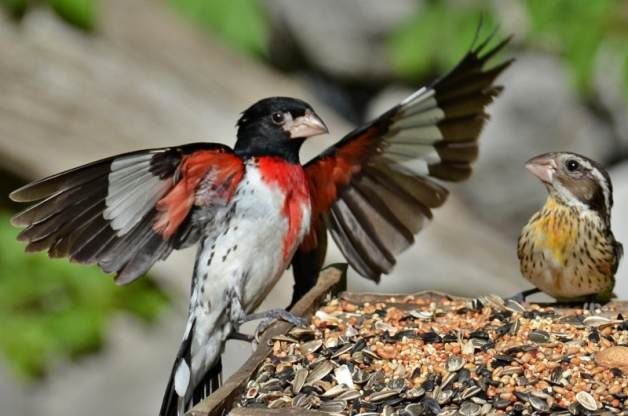 Rose-Breasted Grosbeak, male (L) and female (R)