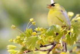 Singing goldfinch in maple tree