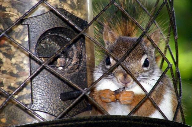 Squirrel in bird feeder