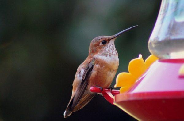 Hummingbird perches on a feeder