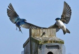 Tree Swallows at Nest Box