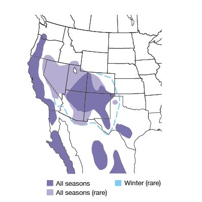 Western Scrub-Jay Bird Species