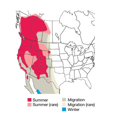 Western Tanager Bird Species