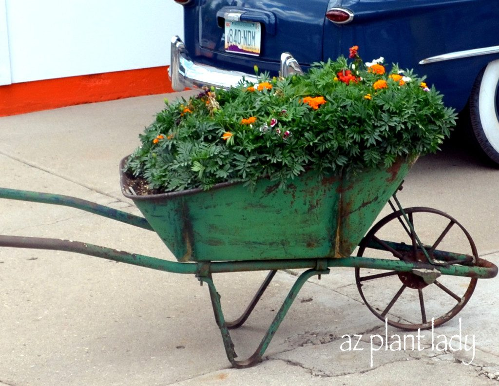 Wheelbarrow Marigolds