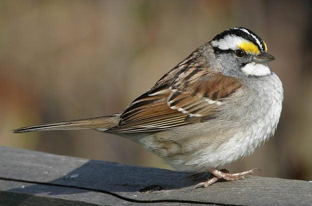 White Throat Sparrow 74