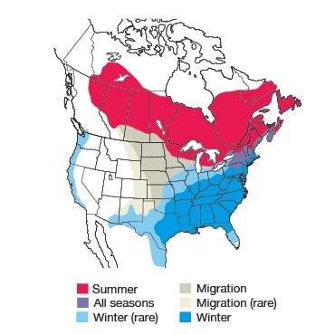 White-throated Sparrow Bird Species