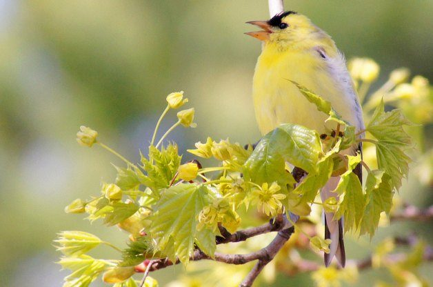 Safari Ecology: Why do birds sing in the morning?
