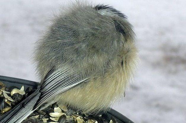 winter bird myths