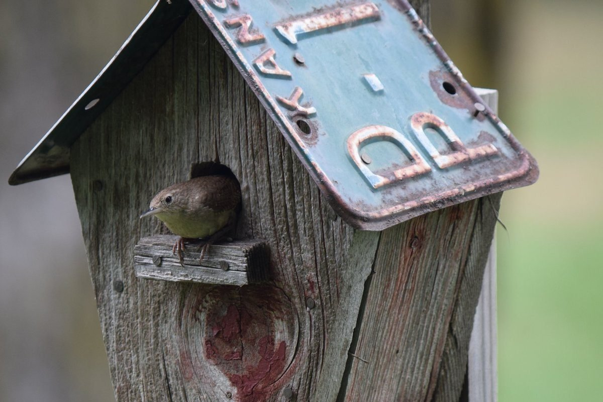 house wren in birdhouse