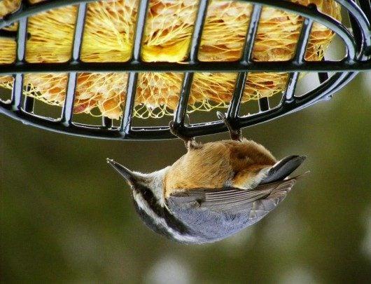 How to make homemade suet suet recipes birds blooms for Whole coconut bird feeders
